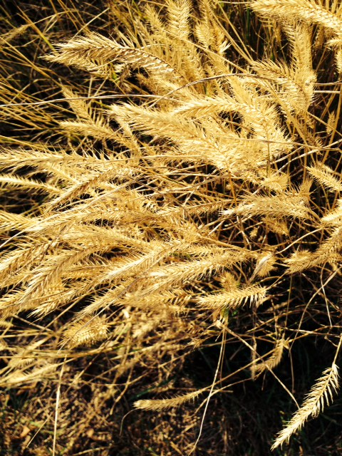 Cheat grass- It actually looks kind of OK when I've been away from it for awhile.