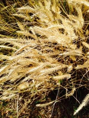 Road Trip Whee! cheat grass Wyoming 2015-9-29