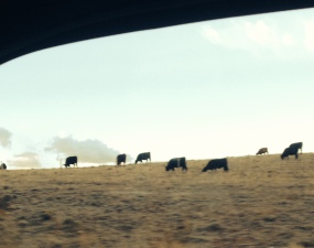 Cows, lots of cows, in Wyoming. Love cows. Here they are out my side window.