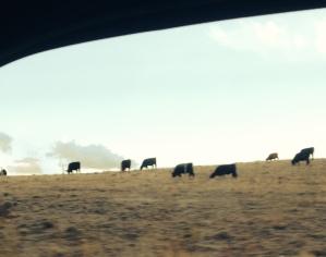 Road Trip Whee cows Wyoming 2015-9-29 near Laramie